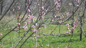 peachblossoms